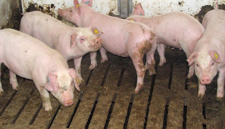 Imagen de archivo de una explotación de porcino de Lleida.