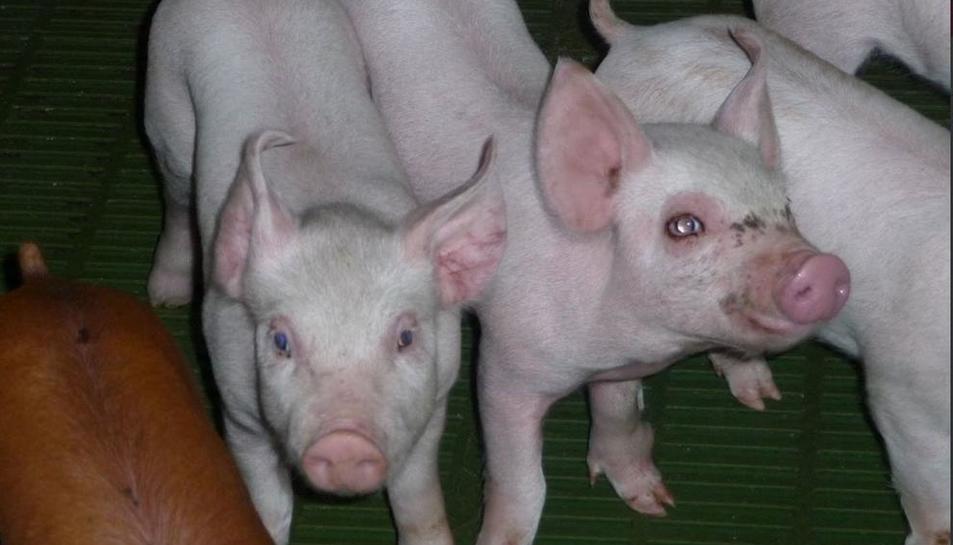 Imatge d'una explotació porcina catalana, un sector que afronta un descens de preus.