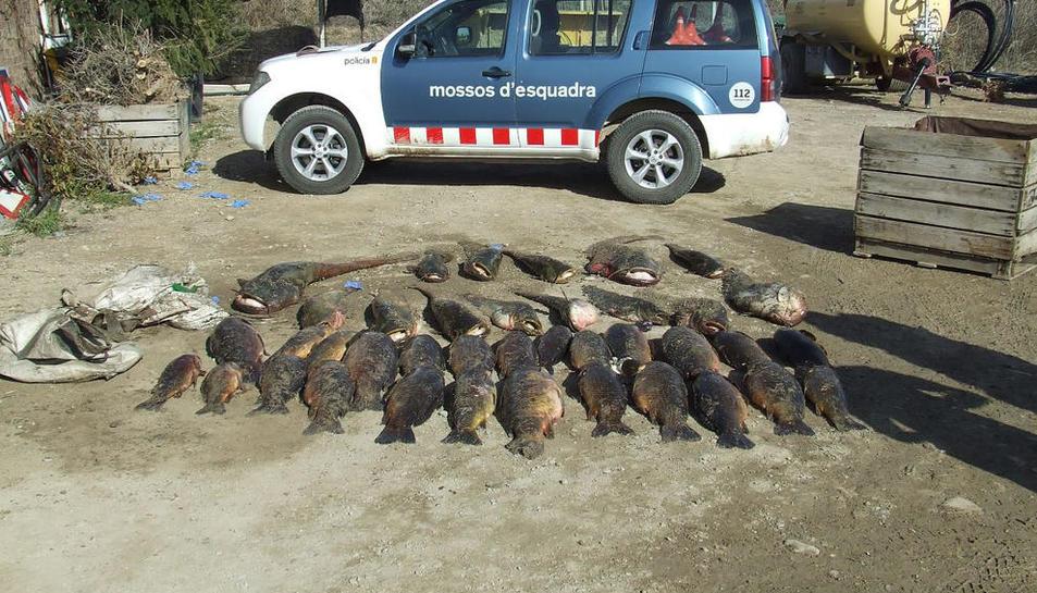 Imatge dels peixos requisats als pescadors detinguts a Alcarràs.
