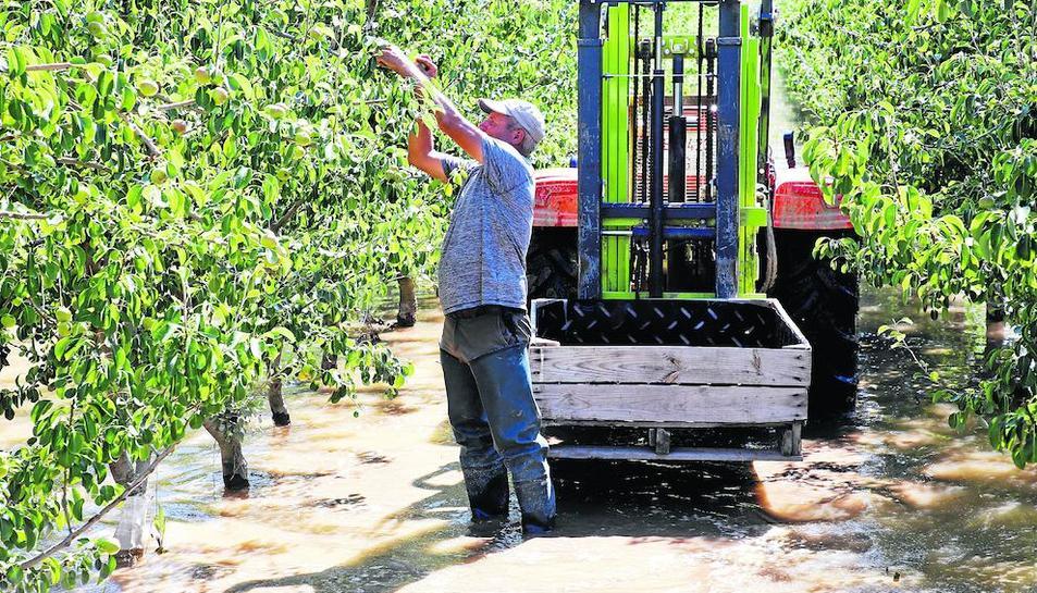 Un pagès recollint fruita amb botes d'aigua, ahir a la Granja d'Escarp.