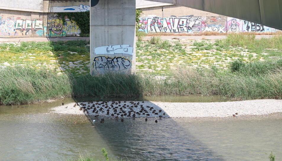 Los  patos que se bañaban ayer en el río Segre se resguardaban bajo la sombra de la pasarela de los Camps Elisis.