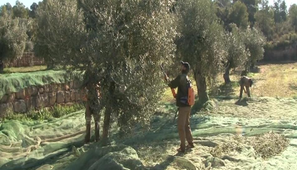 Recollida d'olives