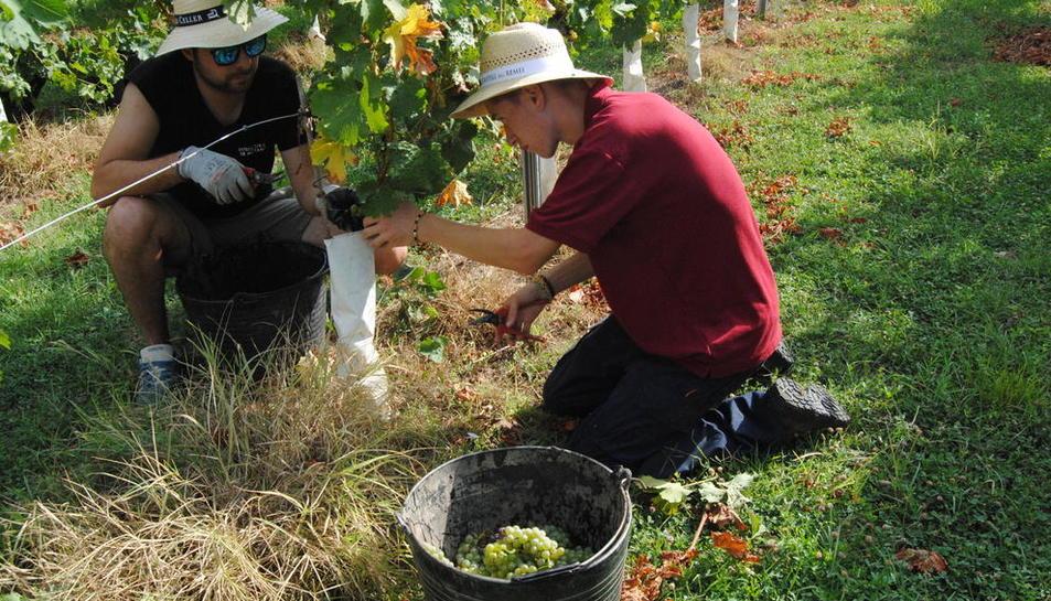 Trabajos de vendimia para elaborar vinos en una bodega de Costers del Segre.