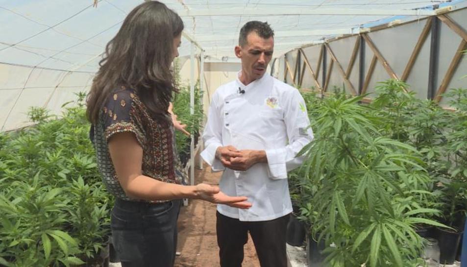 Plantació de cànnabis en un hivernacle.