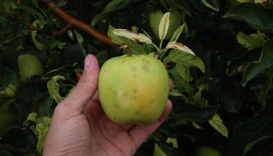 Detalle de una manzana de la variedad Golden dañada por el pedrisco del martes en Golmés.