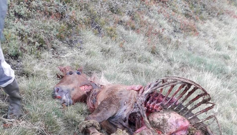 Los restos de la yegua hallada muerta ayer en Mont.