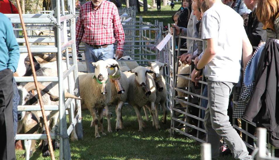 Un moment del concurs d'ovella xisqueta que es va celebrar ahir durant el matí a Sort.