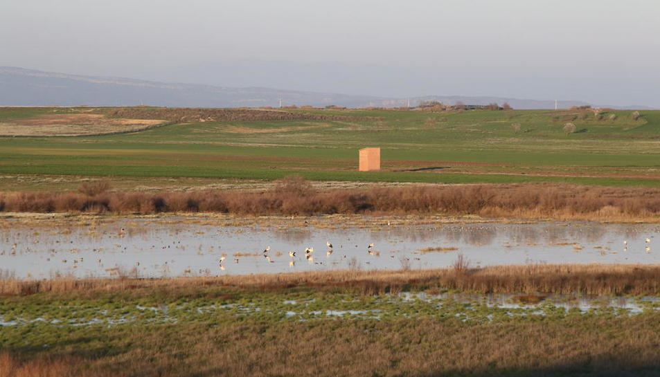 Imatge d'aus a la llacuna del Clot de la Unilla, que es troba entre els termes d'Almenar i Alguaire.
