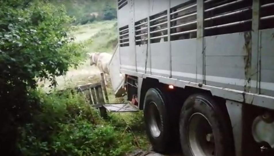 Las primeras vacas llegaron el jueves a Bausen desde Ripoll.