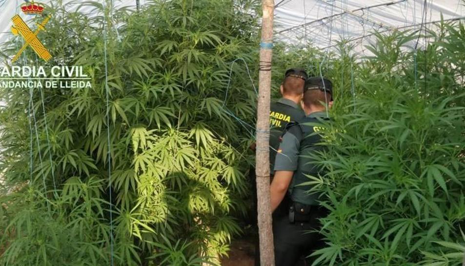 Les 12 plantes tenien una mida molt gran i van pesar 70 quilos en total.