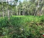 La plantació desmantellada a Coll de Nargó.