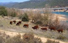 Les vaques de la Baronia de Rialb, confiscades i traslladades a Maials