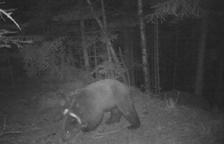 Portar d'Eslovènia al Pirineu l'ós Goiat va suposar una despesa de 45.634 €
