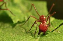 Les formigues se serveixen de referències terrestres i estel·lars per orientar-se