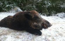 Detectat un cas de triquinosi en un senglar abatut a Ribera d'Urgellet