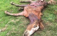 Aran denuncia un nou atac de l'ós Goiat a cavalls