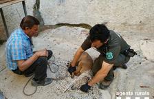 Rescaten a Alcarràs un cabirol que era dins d'un canal