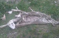 Tres ovelles mortes més per atacs d'óssos a Aran
