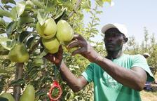 Arranca la campaña de pera limonera con calibre y calidad excepcionales