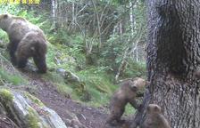 Primeres imatges dels nous cadells d'ós nascuts al Pirineu