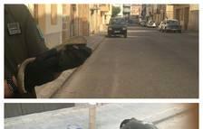 Los Agentes Rurales capturan una serpiente agresiva en Castelldans