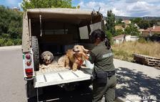 Rescatats una dotzena d'animals en mal estat a Conca de Dalt