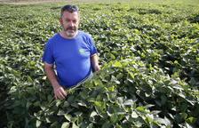 La soja, el último cultivo en el canal Algerri-Balaguer