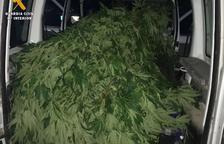 Detenido un vecino de Lleida por una plantación de marihuana en Ballobar
