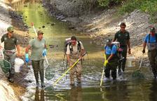 Rescaten més de 3.500 truites de riu en un canal del Jussà