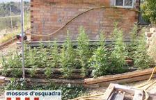 Decomissen 181 plantes de marihuana a Juncosa