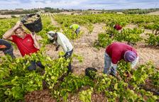 Tomàs Cusiné produirà fins a 300 ampolles de vi de ceps centenaris