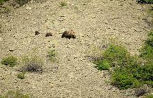 Aran gestionarà la fauna salvatge el 2018 i vol posar límit als óssos