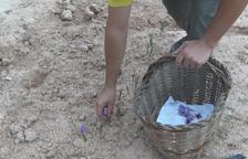 La floración de azafrán acaba en Les Garrigues con menos producción