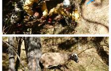 Rescatan dos ovejas que habían caído por un agujero en el Solsonès
