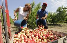 Imatge d'arxiu en què es mostra la campanya de recol·lecció de fruita de pinyol.