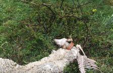 El xai mort per l'atac de l'ós