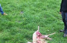 Imatge de l'ovella que va ser atacada a Bagergue.
