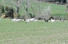 Buscan al dueño de cien cabras 'salvajes' en el Pallars
