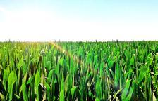 Buenas perspectivas del sector en el inicio de la campaña del maíz en Ponent