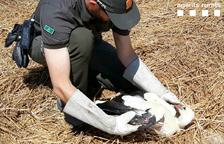 Rescaten una cigonya ferida a Vallfogona