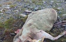 Un nou atac de l'ós a Aran acaba amb una altra ovella morta
