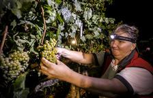 La vendimia arrancó anoche con un proceso de recogida de la uva de forma manual.