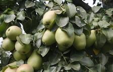 Peras de la variedad Blanquilla este miércoles a punto de su recolección en una finca de Lleida.