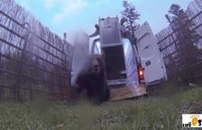 La Generalitat ya prepara la captura y expulsión del oso Goiat del Pirineo