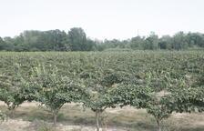 Una finca cultivada en el margen del río Segre en la zona del Baix Segrià.
