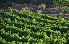 Vendimia en los campos de la bodega Clos Pons.