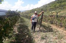Els 22.200 ceps estan plantats a 1.200 metres d'altitud a Riu de Cerdanya.