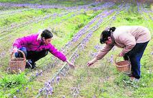 L'Albagés vende su cosecha de azafrán a 11.000 euros/kilo