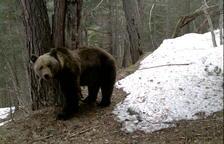 El Gobierno aragonés envía una carta a la Generalitat de Catalunya para que se haga cargo del oso Goiat