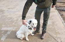 Los Rurales recuperan un perro perdido en La Pobla de Segur